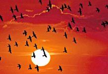 La navegación celeste de las aves